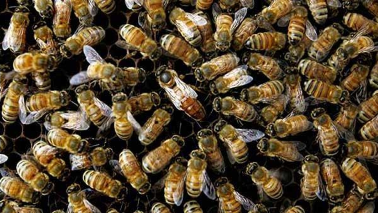 Bees are seen in this undated file photo.