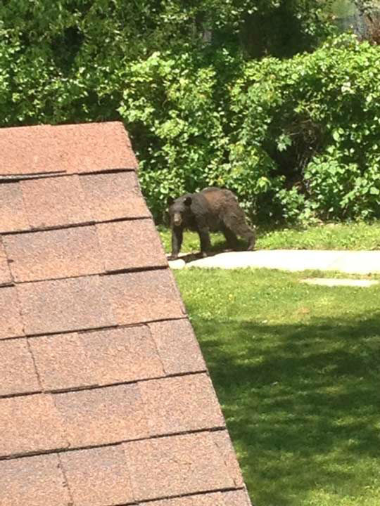 "<div class=""meta image-caption""><div class=""origin-logo origin-image ""><span></span></div><span class=""caption-text"">Police say a bear was sighted climbing a fence into the Bucks Meadow Apartment Complex in Bensalem, Pa. on May 25, 2014. (Photo/Photo credit: Michele Calton)</span></div>"