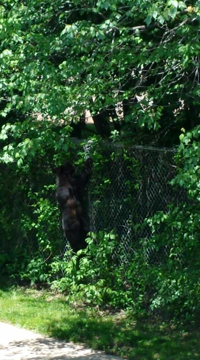 "<div class=""meta image-caption""><div class=""origin-logo origin-image ""><span></span></div><span class=""caption-text"">Police say a bear was sighted climbing a fence into the Bucks Meadow Apartment Complex in Bensalem, Pa. on May 25, 2014. (Photo/Photo credit: Rick Voran Jr.)</span></div>"