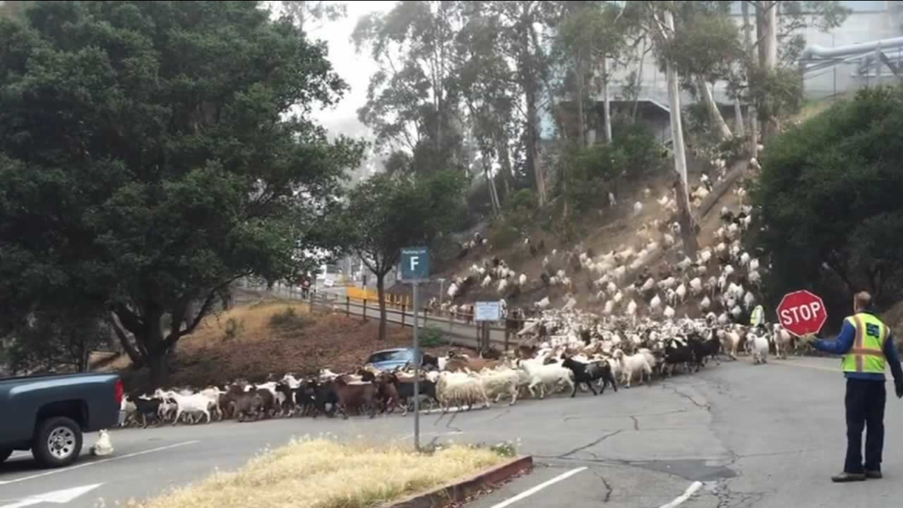 An entire herd of goats were released into the hills in Berkeley, Calif. on Friday, June 12, 2015.