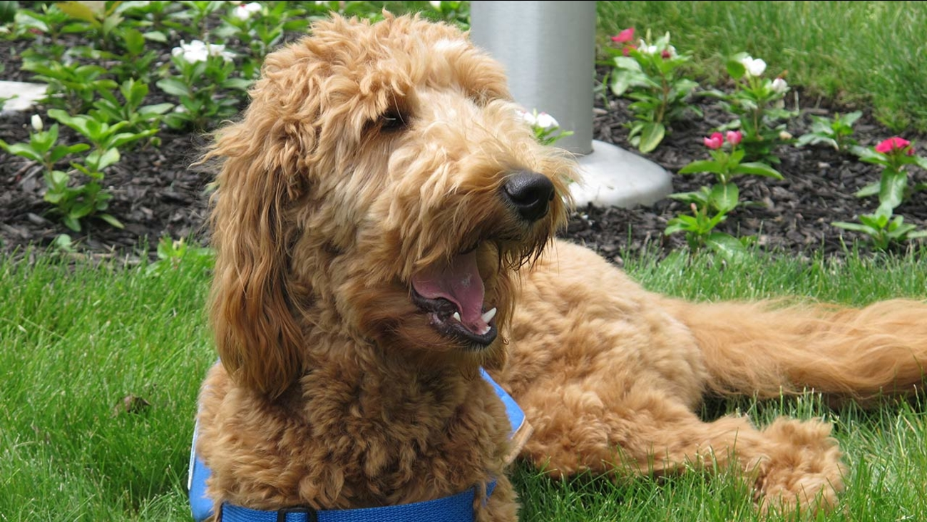 Lulu, a goldendoodle who works as a therapy dog