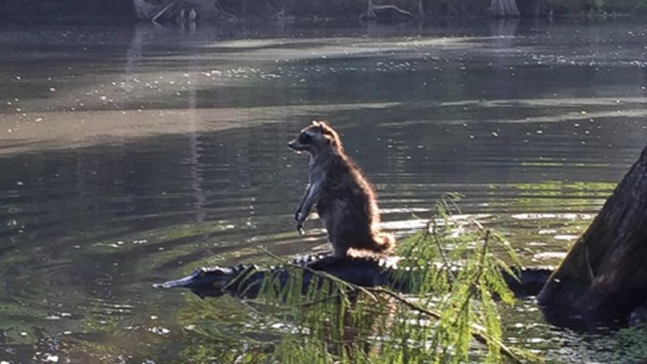 Richard Jones snapped this photo of a raccoon and alligator at the Ocala National Forest in Florida.