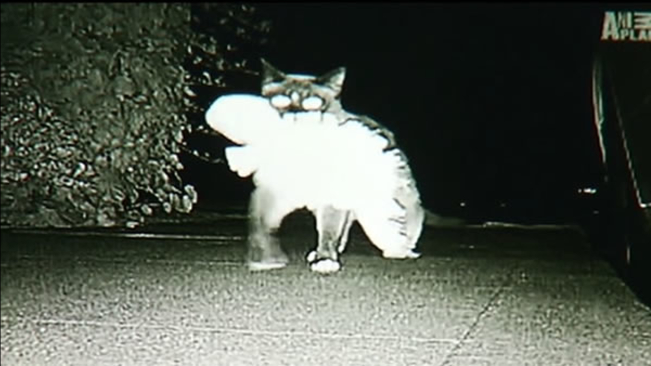 A cat burglar is on the loose in a Peninsula neighborhood. Really, it's a cat that steals things.