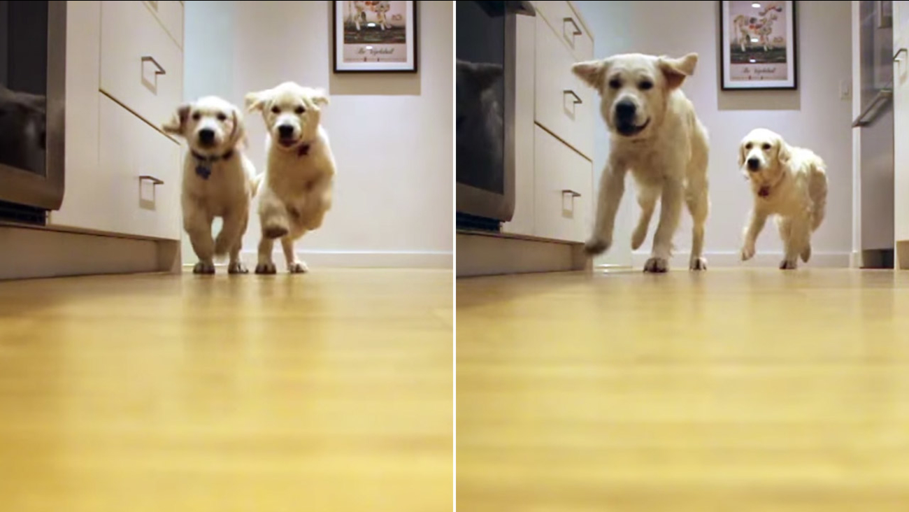 Video Watch As These Adorable Golden Retrievers Grow Before Your