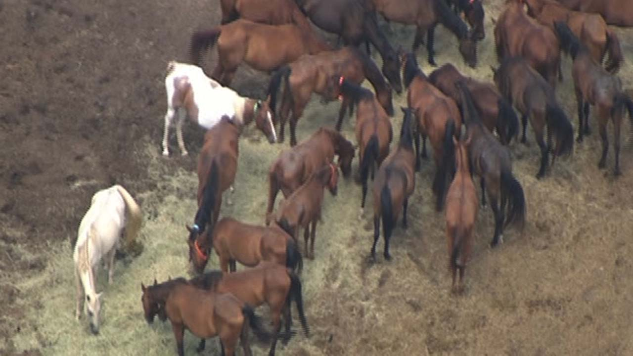 Horses seen from the sky at the Calico Dairy Farm in Conroe, Texas.