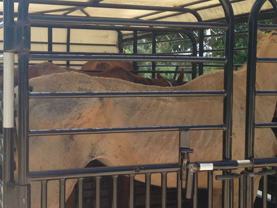 """<div class=""""meta image-caption""""><div class=""""origin-logo origin-image none""""><span>none</span></div><span class=""""caption-text"""">The Houston SPCA and Montgomery County officials are investigating the Calico Dairy Farm in Conroe where around 200 horses were seized (KTRK/Kaitlin McCulley)</span></div>"""