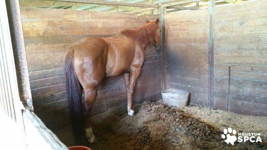 """<div class=""""meta image-caption""""><div class=""""origin-logo origin-image none""""><span>none</span></div><span class=""""caption-text"""">The Houston SPCA and Montgomery County officials are investigating the Calico Dairy Farm in Conroe where around 200 horses were seized (Houston SPCA)</span></div>"""