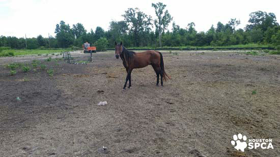 """<div class=""""meta image-caption""""><div class=""""origin-logo origin-image none""""><span>none</span></div><span class=""""caption-text"""">A horse seen at a Conroe farm seized by Montgomery County authorities and the Houston SPCA (Photo/Houston SPCA)</span></div>"""