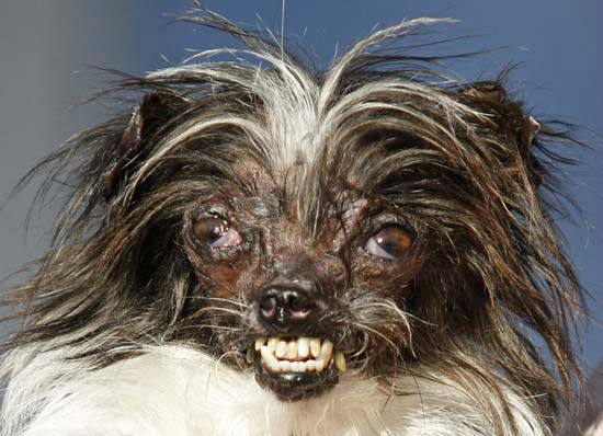 "<div class=""meta image-caption""><div class=""origin-logo origin-image none""><span>none</span></div><span class=""caption-text"">Peanut, a two-year-old mutt was a previous winner of the World's Ugliest Dog Contest (AP Photo/ George Nikitin)</span></div>"