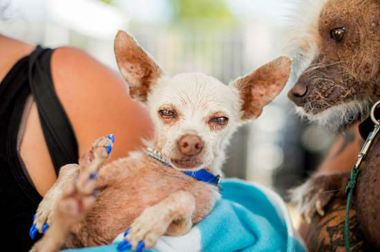 "<div class=""meta image-caption""><div class=""origin-logo origin-image none""><span>none</span></div><span class=""caption-text"">Pork, a 13-year-old Chihuahua, gets some unwanted attention from a rival in the World's Ugliest Dog Contest (AP Photo/ Noah Berger)</span></div>"