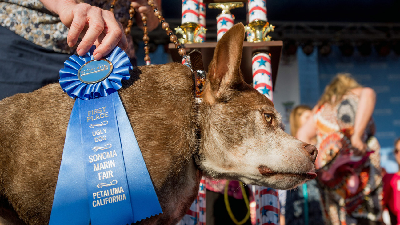 Quasi Modo wins top honors in the World's Ugliest Dog Contest at the Sonoma-Marin Fair on Friday, June 26, 2015, in Petaluma, Calif.