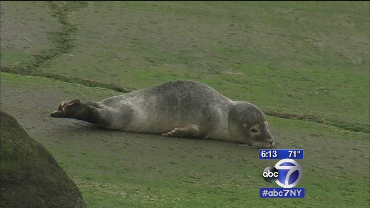 Stranded Baby Seal Draws Crowd In Queens New York Flops Back In