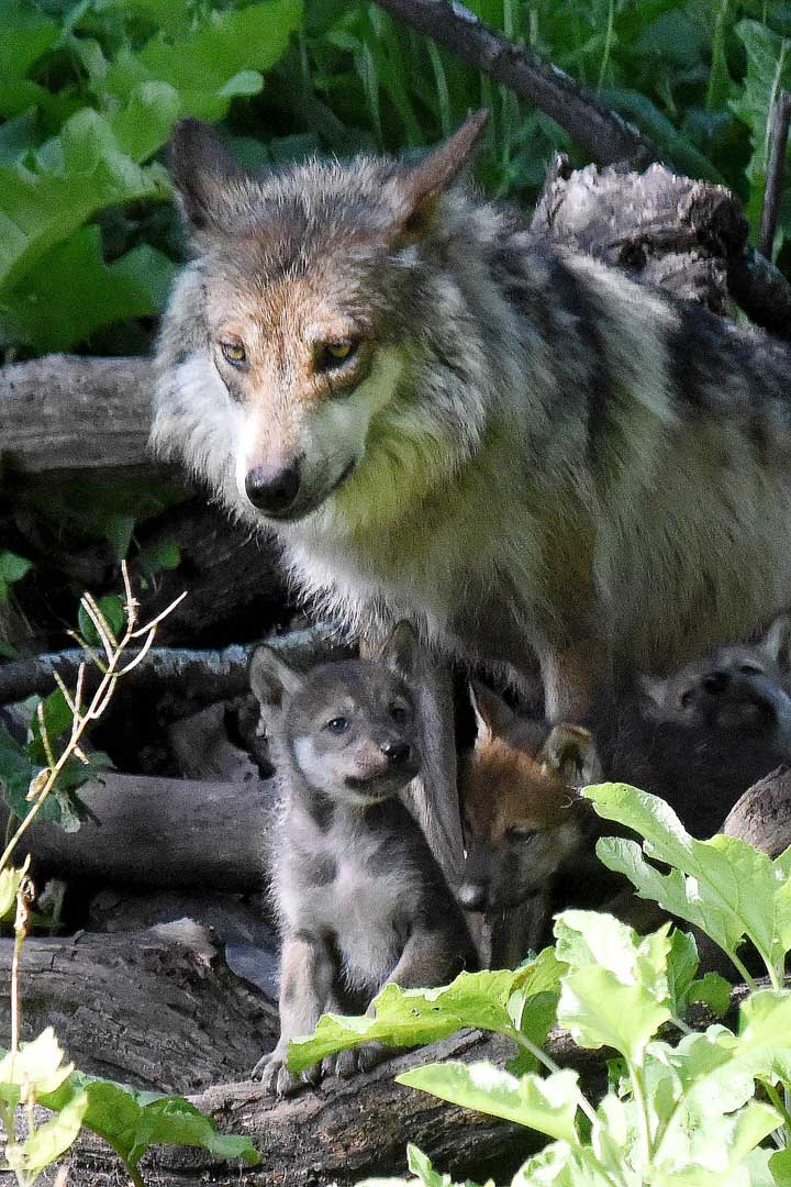 "<div class=""meta image-caption""><div class=""origin-logo origin-image none""><span>none</span></div><span class=""caption-text"">The Mexican gray wolf breeding program is managed for the U.S. Fish & Wildlife Service (USFWS) by the Association of Zoos and Aquariums' Mexican Gray Wolf Species Survival Plan. (Jim Schulz/Chicago Zoological Society)</span></div>"