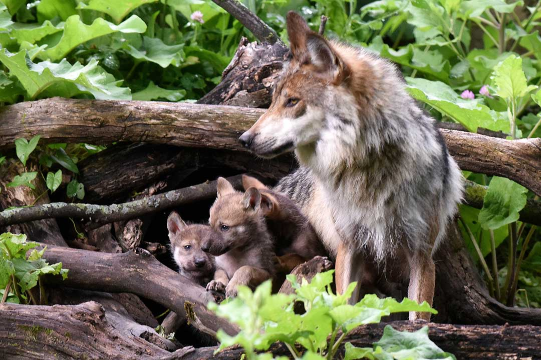 "<div class=""meta image-caption""><div class=""origin-logo origin-image none""><span>none</span></div><span class=""caption-text"">As of 2014, 110 wolves are living in the wild in Apache and Gila National Forests in Arizona and New Mexico as a part of reintroduction program. (Jim Schulz/Chicago Zoological Society)</span></div>"