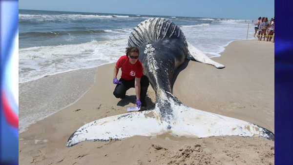 "<div class=""meta image-caption""><div class=""origin-logo origin-image none""><span>none</span></div><span class=""caption-text"">Calls came in from members of the public around 8:30 p.m. Monday to the Riverhead Foundation for Marine Research and Preservation to report the dead humpback whale. (The Riverhead Foundation)</span></div>"