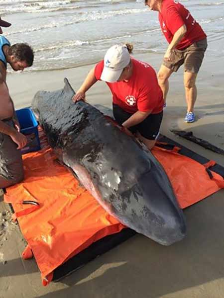 The Texas Marine Mammal Stranding Network responded to a beach goer who found a Pygmy Sperm Whale in Surfside Beach, TX.