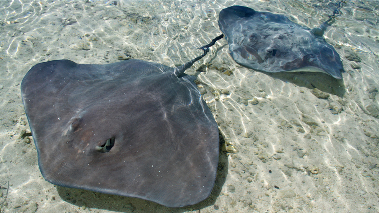 Two stingrays are shown underwater in an undated file photo.