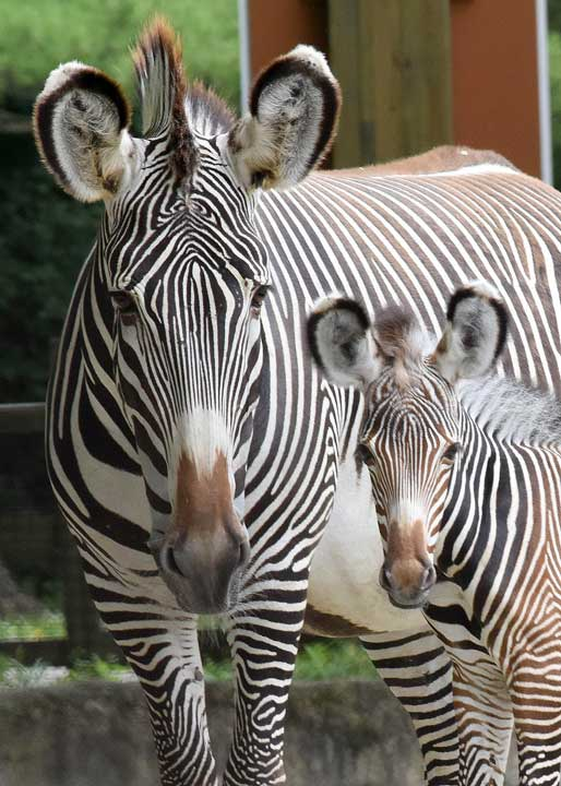 "<div class=""meta image-caption""><div class=""origin-logo origin-image none""><span>none</span></div><span class=""caption-text"">A female zebra foal, born at Brookfield Zoo on July 7, with her mom Kali. (Jim Schulz/Chicago Zoological Society)</span></div>"