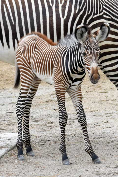 "<div class=""meta image-caption""><div class=""origin-logo origin-image none""><span>none</span></div><span class=""caption-text"">A female zebra foal, born at Brookfield Zoo on July 7, with her mom Kali. They can be seen in a habitat located in the northwestern corner of the zoo. (Jim Schulz/Chicago Zoological Society)</span></div>"