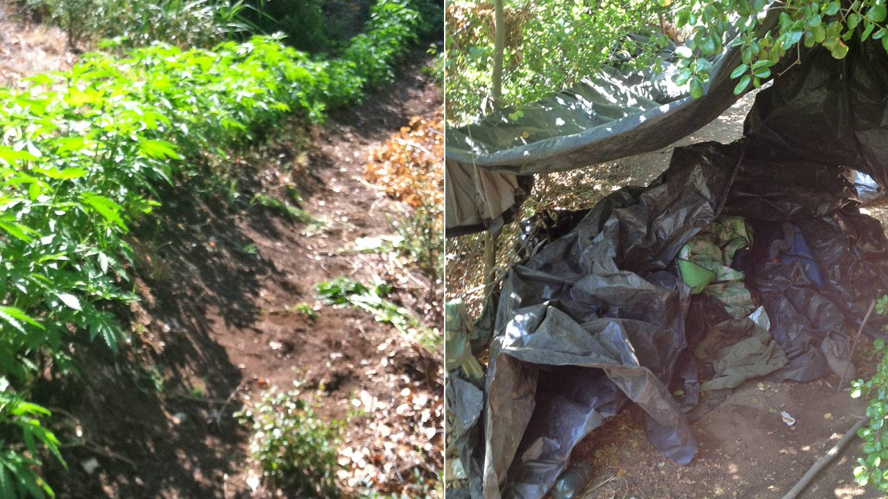 Left: Marijuana plants seized from Piru Canyon on Friday, May 23, 2014. Right: A campsite discovered by sheriff's investigators near the pot grow.