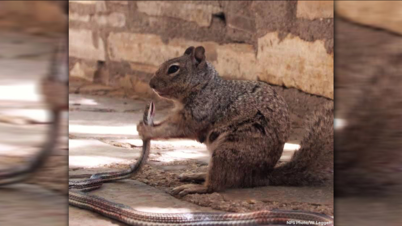 Squirrel eating a snake