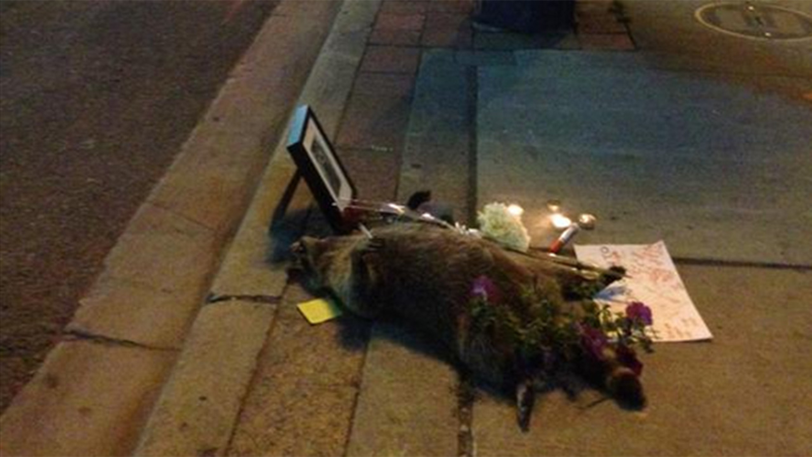 Dead raccoon becomes famous after city fails to pick it up ...