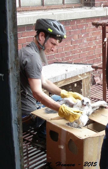 """<div class=""""meta image-caption""""><div class=""""origin-logo origin-image none""""><span>none</span></div><span class=""""caption-text"""">A conservation effort led by a Field Museum official has helped restore peregrine falcon numbers in Illinois. (Photo/Chicago Field Museum)</span></div>"""