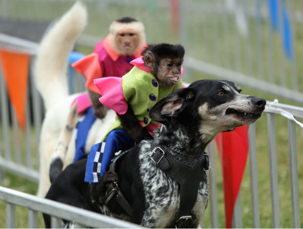 "<div class=""meta image-caption""><div class=""origin-logo origin-image none""><span>none</span></div><span class=""caption-text"">The Banana Derby features monkeys dressed as horse jockeys riding on the backs of dogs across a finish line. (Photo/Steve Lundy)</span></div>"