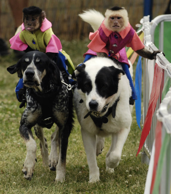 "<div class=""meta image-caption""><div class=""origin-logo origin-image none""><span>none</span></div><span class=""caption-text"">The Banana Derby features monkeys dressed as horse jockeys riding on the backs of dogs across a finish line. (Photo/Joe Lewnard)</span></div>"