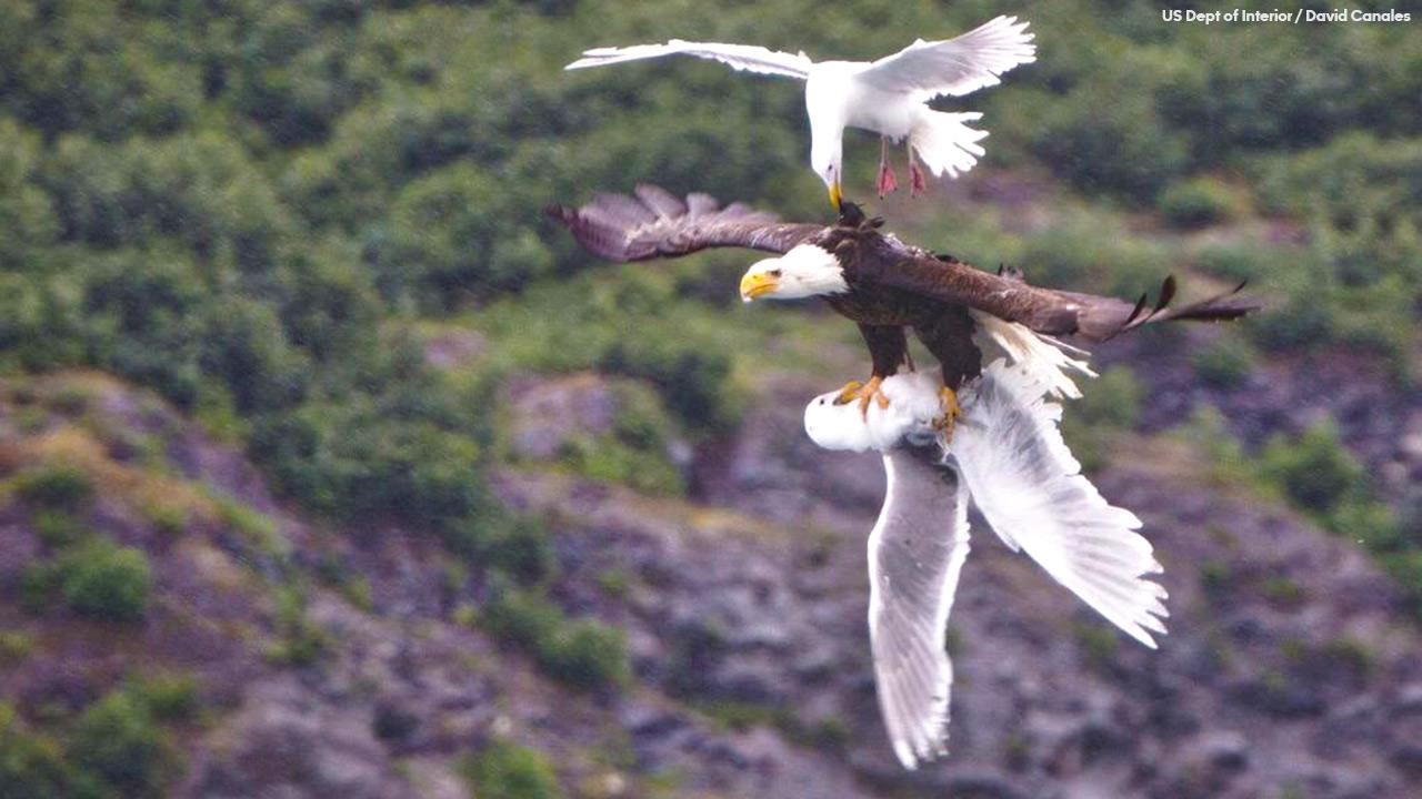 Eagle vs seagulls