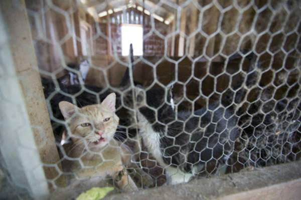 """<div class=""""meta image-caption""""><div class=""""origin-logo origin-image none""""><span>none</span></div><span class=""""caption-text"""">A cat peers from a cage during the Humane Society of the United States animal rescue in Pittsboro, N.C., on Wednesday, July 15, 2015. (Chris Keane/AP Images for The Humane Society)</span></div>"""