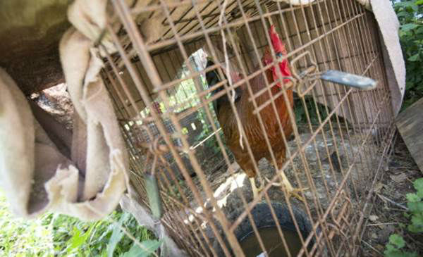 """<div class=""""meta image-caption""""><div class=""""origin-logo origin-image none""""><span>none</span></div><span class=""""caption-text"""">A rooster is seen inside a cage during the Humane Society of the United States animal rescue in Pittsboro, N.C., on Wednesday, July 15, 2015. (Chris Keane/AP Images for The Humane Society)</span></div>"""