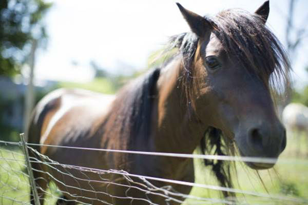 """<div class=""""meta image-caption""""><div class=""""origin-logo origin-image none""""><span>none</span></div><span class=""""caption-text"""">One of many horses approach a fence during the Humane Society of the United States animal rescue in Pittsboro, N.C., on Wednesday, July 15, 2015. (Chris Keane/AP Images for The Humane Society)</span></div>"""