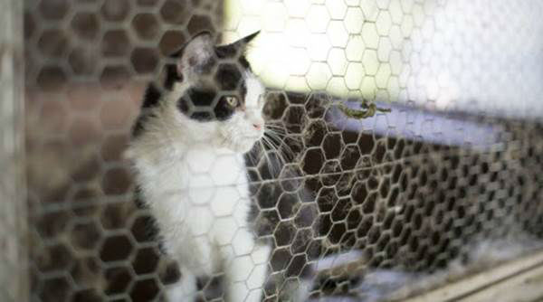 """<div class=""""meta image-caption""""><div class=""""origin-logo origin-image none""""><span>none</span></div><span class=""""caption-text"""">A cat watches from an enclosure as the Humane Society of the United States performs an animal rescue in Pittsboro, N.C., on Wednesday, July 15. (Chris Keane/AP Images for The Humane Society)</span></div>"""