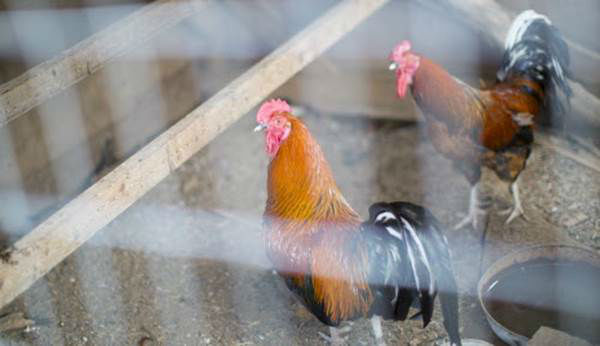 """<div class=""""meta image-caption""""><div class=""""origin-logo origin-image none""""><span>none</span></div><span class=""""caption-text"""">Roosters are seen in a pen during the Humane Society of the United States animal rescue in Pittsboro, N.C., on Wednesday, July 15, 2015. (Chris Keane/AP Images for The Humane Society)</span></div>"""