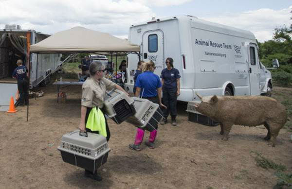 """<div class=""""meta image-caption""""><div class=""""origin-logo origin-image none""""><span>none</span></div><span class=""""caption-text"""">A pig walks through a triage center being built during the Humane Society of the United States animal rescue in Pittsboro, N.C., on Wednesday, July 15, 2015. (Chris Keane/AP Images for The Humane Society)</span></div>"""