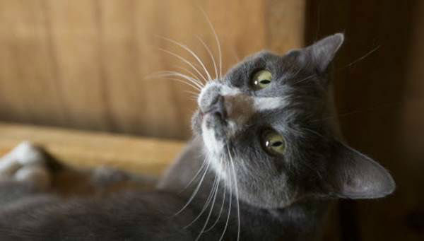 """<div class=""""meta image-caption""""><div class=""""origin-logo origin-image none""""><span>none</span></div><span class=""""caption-text"""">A cat looks out from its pen as rescuers work to save animals during the Humane Society of the United States animal rescue in Pittsboro, N.C., on Wednesday, July 15, 2015. (Chris Keane/AP Images for The Humane Society)</span></div>"""