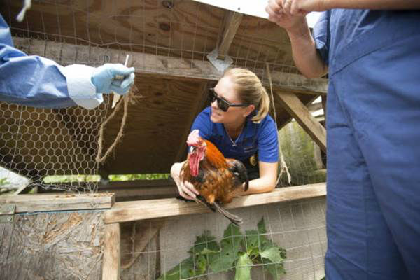 """<div class=""""meta image-caption""""><div class=""""origin-logo origin-image none""""><span>none</span></div><span class=""""caption-text"""">Volunteers rescue a rooster during the Humane Society of the United States animal rescue in Pittsboro, N.C., on Wednesday, July 15, 2015. (Chris Keane/AP Images for The Humane Society)</span></div>"""