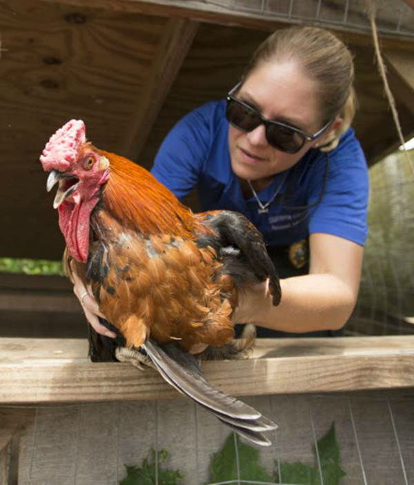 """<div class=""""meta image-caption""""><div class=""""origin-logo origin-image none""""><span>none</span></div><span class=""""caption-text"""">A volunteer hands over a rooster for care during the Humane Society of the United States animal rescue in Pittsboro, N.C., on Wednesday, July 15, 2015. (Chris Keane/AP Images for The Humane Society)</span></div>"""