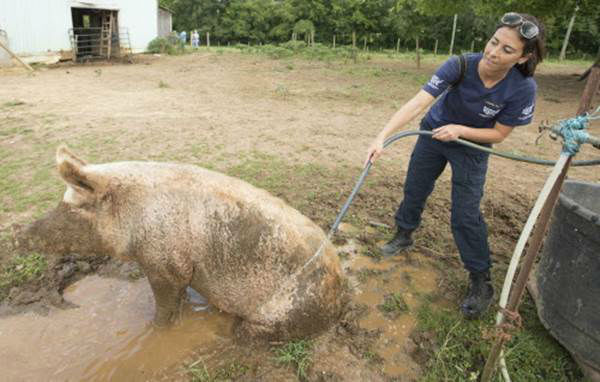 """<div class=""""meta image-caption""""><div class=""""origin-logo origin-image none""""><span>none</span></div><span class=""""caption-text"""">Ashley Mauler, senior manager of animal crimes for the HSUS, hoses off a pig during the Humane Society of the United States animal rescue in Pittsboro, N.C. (Chris Keane/AP Images for The Humane Society)</span></div>"""