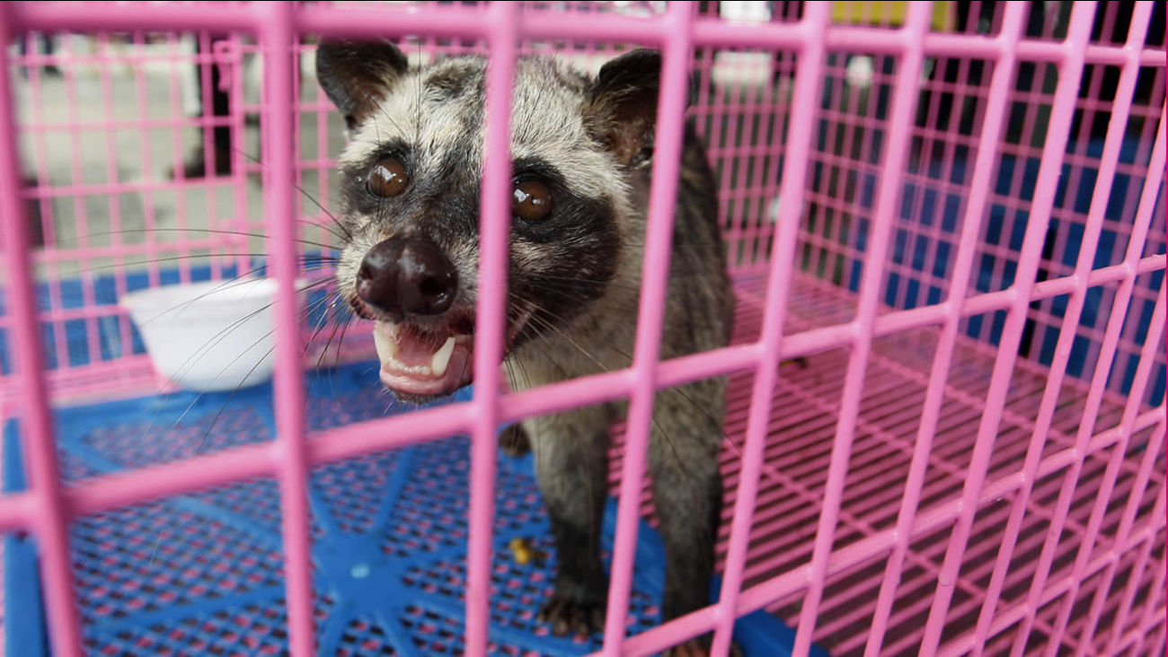 A civet stands in a cage during a news conference in Bangkok, Thailand, on Wednesday, Sept. 14, 2011. (AP Photo/Sakchai Lalit)