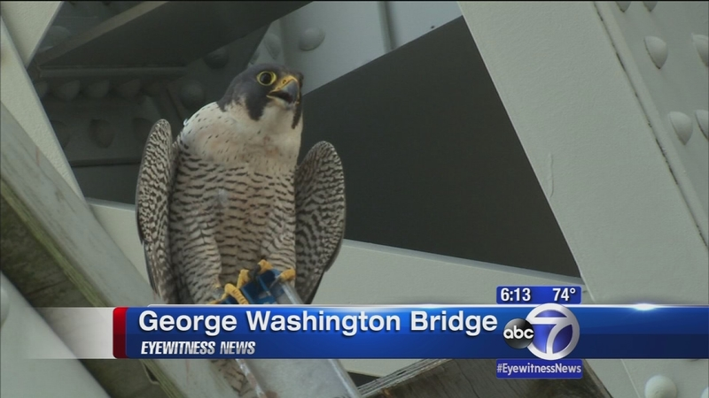 New York Working To Save Endangered Peregrine Falcon Babies Abc7 New York
