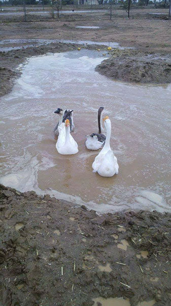 "<div class=""meta image-caption""><div class=""origin-logo origin-image none""><span>none</span></div><span class=""caption-text"">ABC7 viewer April sent in this photo of geese swimming amid the flooding in Phelan on Sunday, July 19, 2015. (KABC Photo)</span></div>"