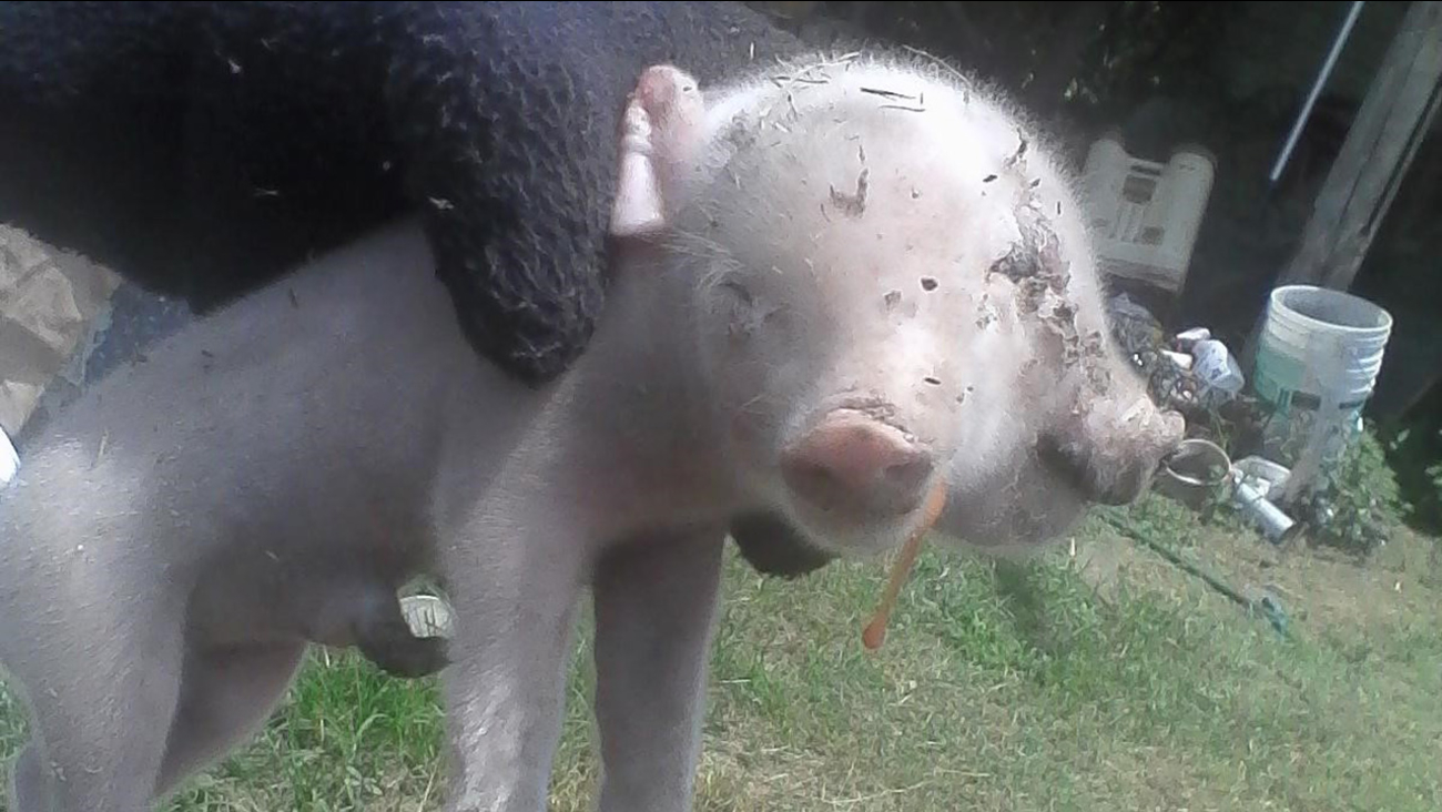 A two-headed pig born in Raeford