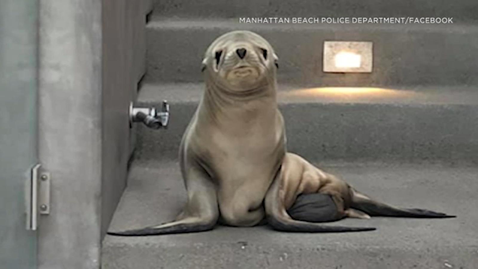 Sick sea lion pup found on Manhattan Beach doorstep