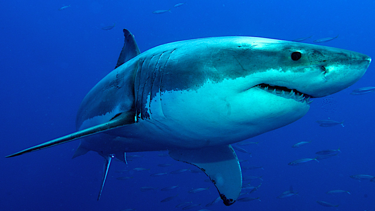 A great white shark is shown swimming in the ocean in an undated file photo.