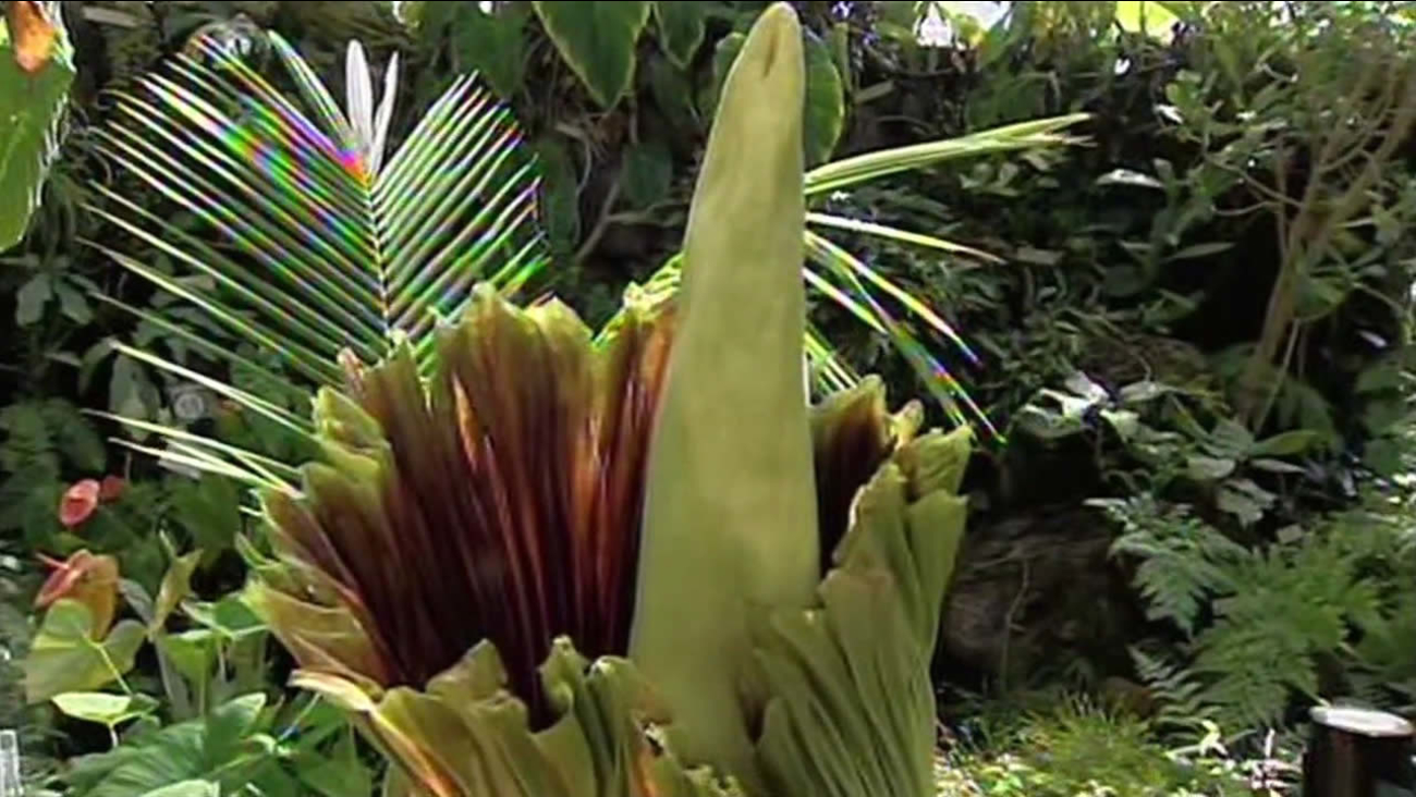 """This undated image shows a """"Corpse Flower"""" nicknamed Trudy at the UC Berkeley Botanical Garden in Berkeley, Calif."""