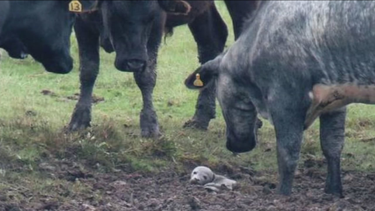 A birdwatcher in the United Kingdom noticed a herd of 30 cows behaving very strangely near a muddy puddle.
