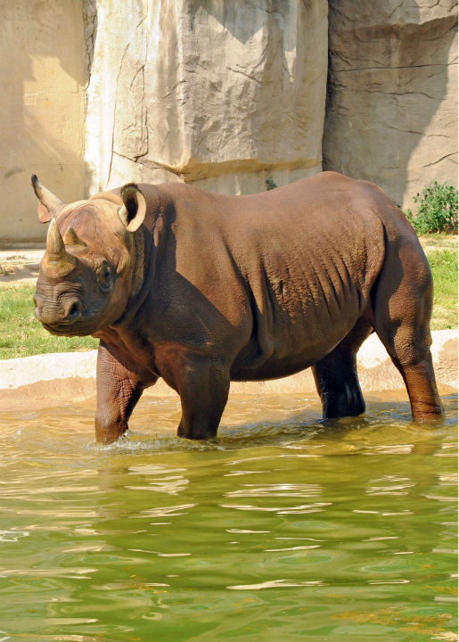 """<div class=""""meta image-caption""""><div class=""""origin-logo origin-image none""""><span>none</span></div><span class=""""caption-text"""">Layla, a 4-year-old black rhino at Brookfield Zoo, seems to be enjoying her pool on Tuesday. (Jim Schulz/Chicago Zoological Societey)</span></div>"""