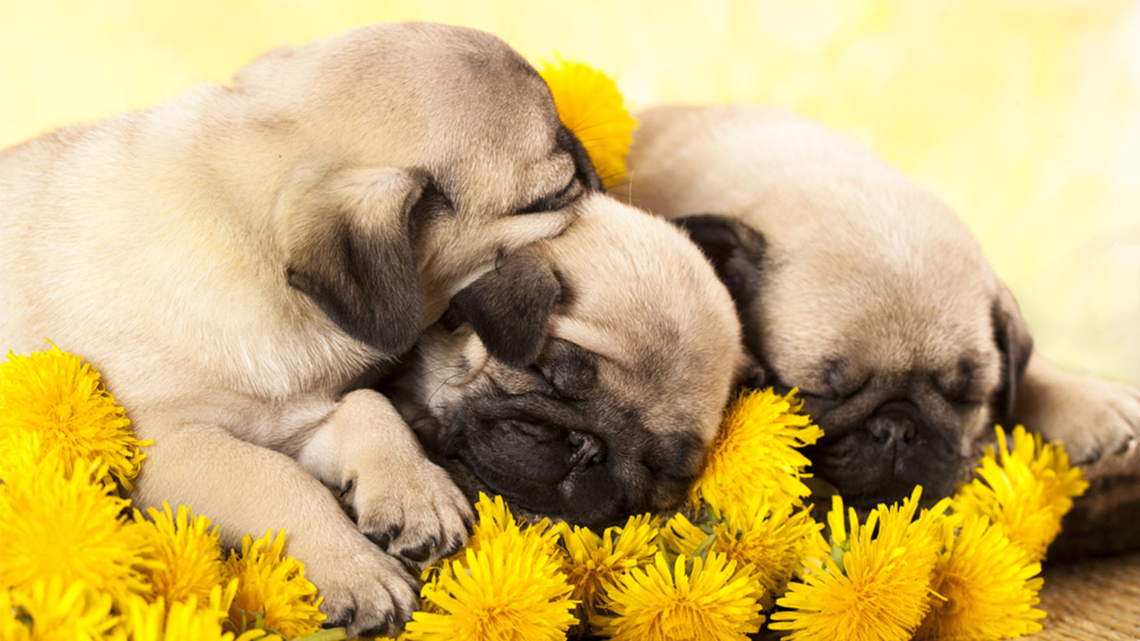 Video Watch As These Adorable Sleepy Pug Puppies Go To Bed Abc7 Los Angeles